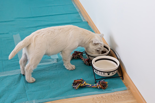 view-cute-west-highland-white-terrier-puppy-eats-from-bowls